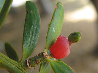Podocarpus totara - Image: Podocarpus Totara
