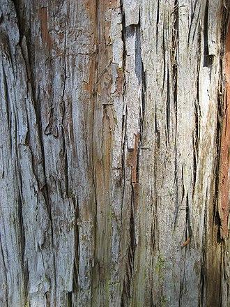 Podocarpus totara - Image: Podocarpus Totara Bark