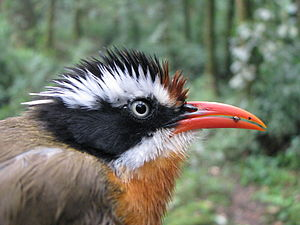 Coral-billed scimitar babbler - Coral-billed scimitar babbler