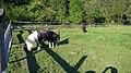 Ponys-suabia.jpg