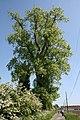 Populus nigra Escanaffles 1.JPG