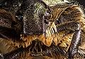 Portrait of Beelte from Scarabaeidae family.jpg