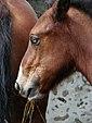 Poulain yeux bleus 3.jpg