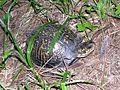 Pounds Hollow campsite - Eastern Box Turtle (Terrapene carolina) - Flickr - Jay Sturner.jpg