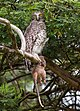 Powerful Owl - Ninox Strenua (7555350268).jpg
