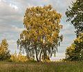 Prachtige berk (Betula) in mild avondlicht. Locatie, natuurgebied Delleboersterheide – Catspoele 03.jpg
