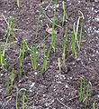 Prei kiemplanten (Allium porrum seedlings).jpg