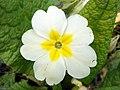 Primrose (Primula vulgaris), Box Wood, Walkern (27426882680).jpg