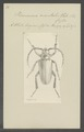 Prionomma - Print - Iconographia Zoologica - Special Collections University of Amsterdam - UBAINV0274 032 04 0003.tif