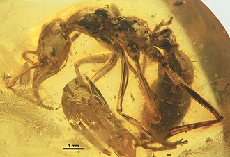 Nothomyrmecia - Nothomyrmecia and the extinct Prionomyrmex are closely related to each other