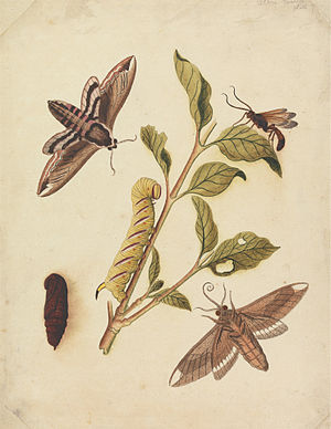 Eleazar Albin - Privet Hawk Moths and Callajoppa Exaltatoria by Eleazar Albin, 1720