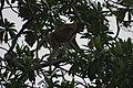 Proboscis Monkey (Nasalis larvatus) (6967245700).jpg