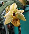 Promenaea xanthina -波蘭 Krakow Jagiellonian University Botanic Garden, Poland- (36546900981).jpg