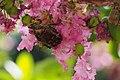 Protaetia orientalis (20925639725).jpg