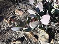 Protea recondita vynbos iNat16257464a.jpg