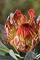 Protea roupelliae (Proteceae) (4629043965).jpg