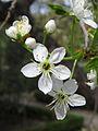 Prunus mahaleb 20140326.jpg
