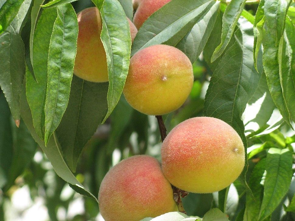Prunus persica-Jerusalem-Fruits