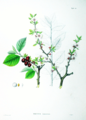 Prunus tomentosa SZ22.png