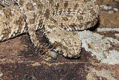 Pseudocerastes urarachnoides.jpeg