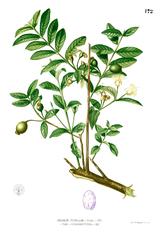 Psidium guajava Blanco1.172.png