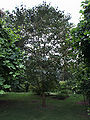 Pterostyrax psylophyllus vue générale.jpg