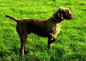 Pointing breed - A Pudelpointer in pointing stance.