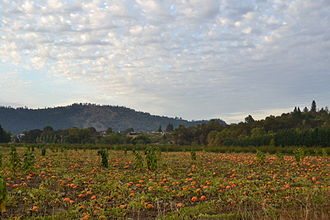 Pumpkin - A pumpkin patch in Winchester, Oregon