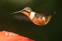Purple-throated Woodstar (Calliphlox mitchellii).jpg