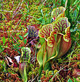 Purple Pitcher Plant (Sarracenia purpurea) (7513872730).jpg
