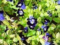 Purple bell flower1.jpg