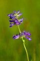Purple flower Sawtooths.jpg