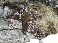 Purple saxifrage - geograph.org.uk - 150528.jpg