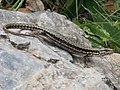 Pyrenean rock lizard.jpg