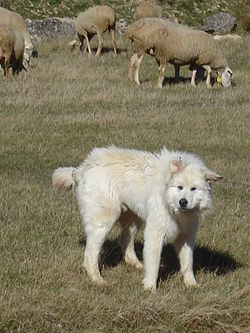 Can Kangal Dogs Be Trained As Service Dogs