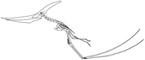Pteranodon - Skeletal reconstruction of a quadrupedally launching male P. longiceps