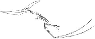 Pterosaur - Skeletal reconstruction of a quadrupedally launching Pteranodon longiceps