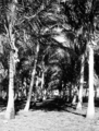 Queensland State Archives 1361 Coconut Palm Avenue Palm Island c 1935.png