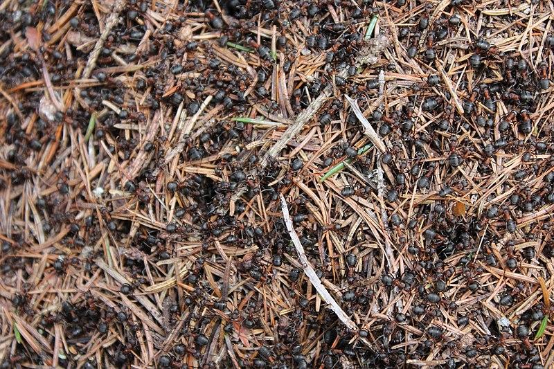 File:Quelques fourmis sur la colline Puijo à Kuopio. - panoramio.jpg
