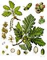 Quercus petraea - Köhler–s Medizinal-Pflanzen-118.jpg