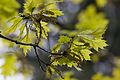 Quercus rubra Blüte.jpg