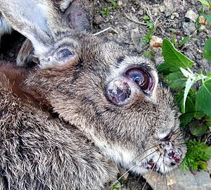 Myxomatosis - Skin tumours on rabbit with myxomatosis