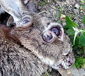 Myxomatosis - Wikipedia, the free encyclopedia