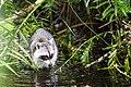 Raccoon (24381487213).jpg