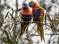 Rainbow Lorikeet Pair (21442491561).jpg