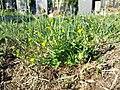 Ranunculus sardous subsp. sardous sl4.jpg