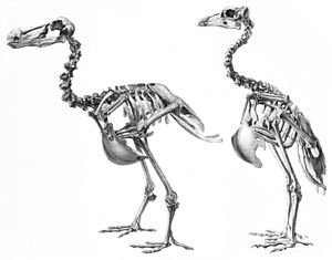 Raphinae - Dodo and Rodrigues solitaire skeletons compared, not to scale