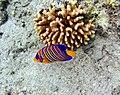 Ras Mohamed striped fish.jpg