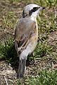 Red-backed Shrike(Lanius collurio) at manno town2.jpg