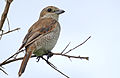 Red-backed Shrike (Lanius collurio) female (16509851966).jpg